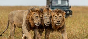 4 days Serengeti Big Cats safari