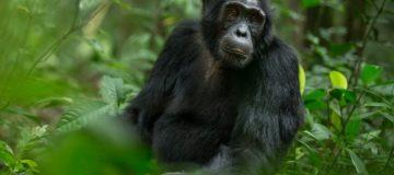 Chimpanzee Trekking Safari in Tanzania