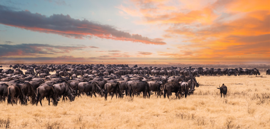 The Great Wildebeest Migration in Serengeti National Park