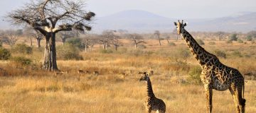 5 Things to do on a Safari in Ruaha National Park