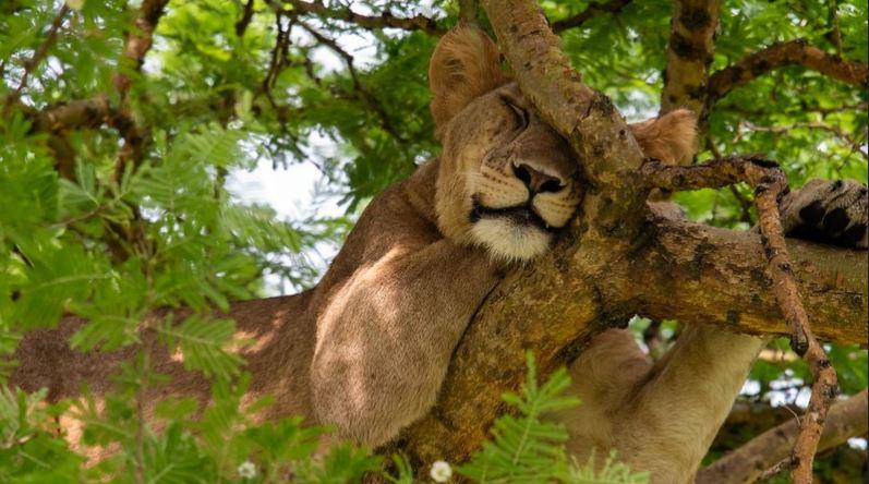 Tree climbing lion safari in Lake Manyara park